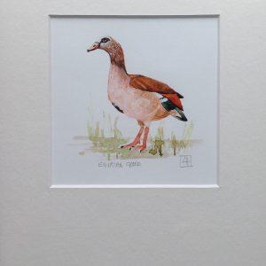 01 Egyptian Goose