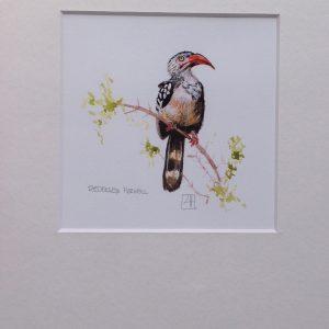 02 Redbilled Hornbill