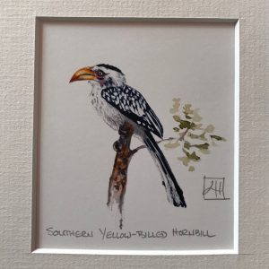 02 Southern Yellow-billed Hornbill